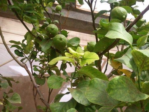 לימון עם פרי