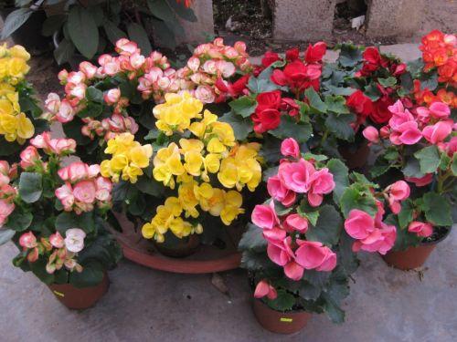ביגוניה ורד