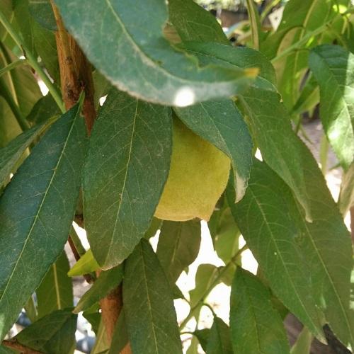 פרי אפרסק