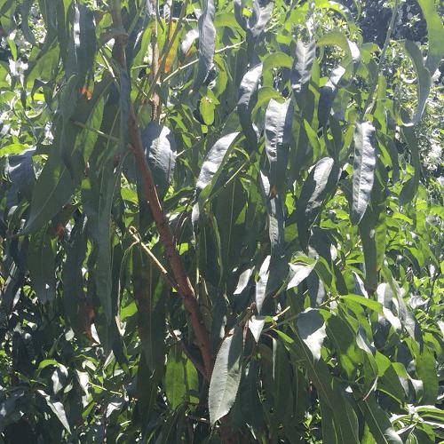 עץ נקטרינה